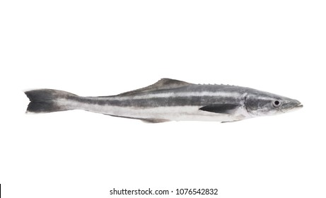 Cobia fish or lemonfish isolated on white background, Rachycentron canadum