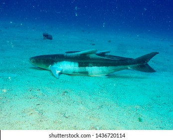Cobia fish, underwater coast of Ceará state, Brazil.