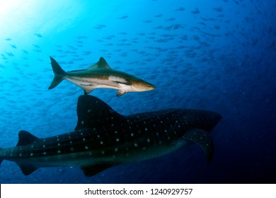 Cobia and Whale Shark.