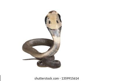 Cobra isolate on white background