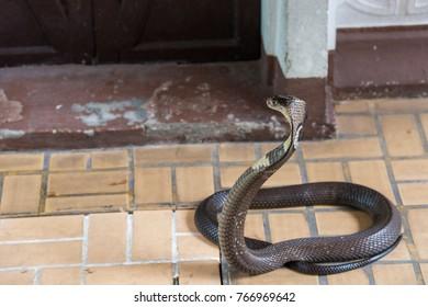 Cobra snake close-up
