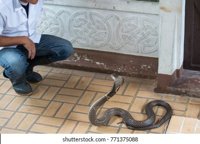 Cobra snake with a man