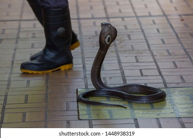 Cobra snake.Cobra on the floor