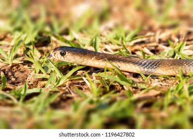 Cobra young snake moving on grass     and flicking tongue in the air, side view.Dangerous venomous snakes.