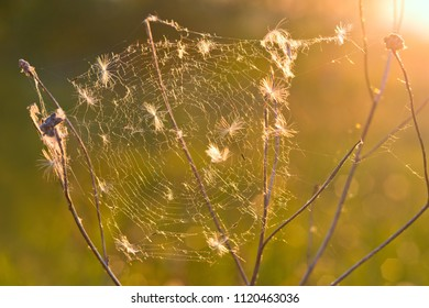 Cobweb with fluffy seeds of dandelion at sunset in the lighting circuit.
