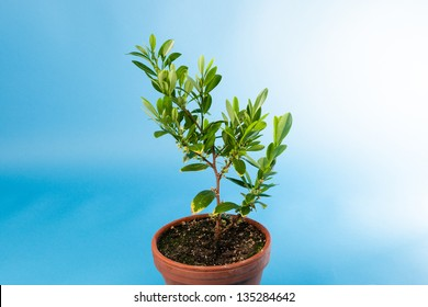 Coca plant, Erythroxylum coca growing in a pot against blue sky, used to extract cocaine from its dried leaves