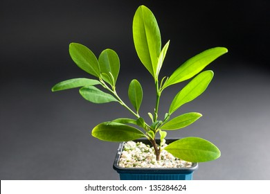 Coca plant, Erythroxylum coca, growing in a tub showing a closeup of the leaves from which cocaine is derived and which are chewed dried as a stimulant