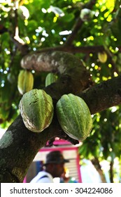 Coca Pods growing on the Tree