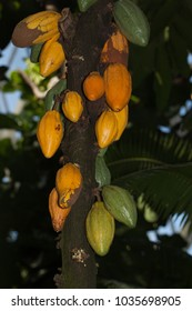 Cocao plant pods chocolate