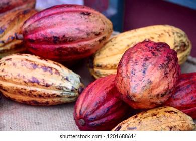 Cocao plants seeds chocolate