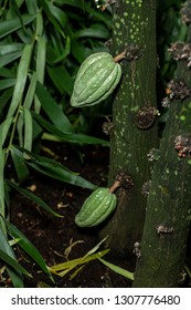 Cocao pods growing on a Cocao tree, Theobroma cacao, in a tropical display at a botanical garden