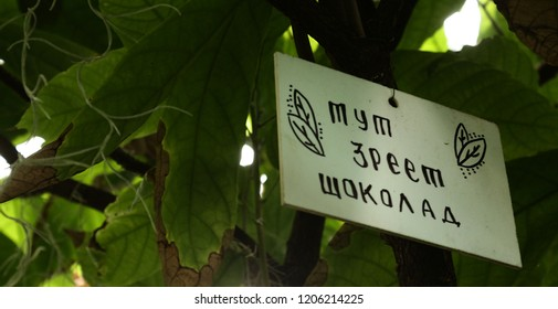 Cocao-tree. The inscription on the plate: here ripen chocolate