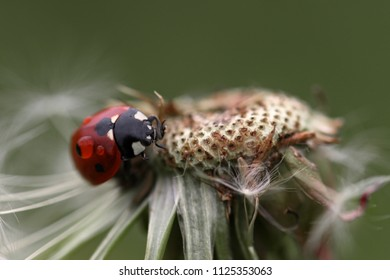 Coccinella septempunctata, common ladybug, on the tarassacum with a drop of water on its back during the storm.