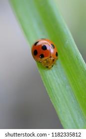 Coccinellidae beetle on leaves