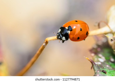 The Coccinellidae commonly known as ladybug , or ladybird, or ladybird beetle, or lady beetle
