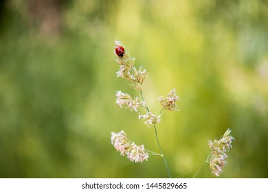 Coccinellidae, lady beetle, ladybird on top of a field grass flover in  shiny sunny day