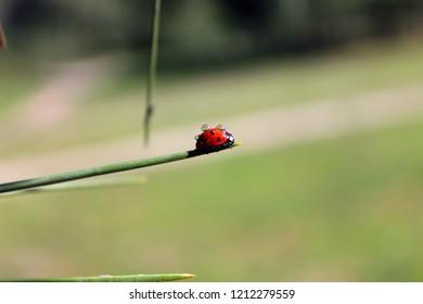 Coccinellidae (Ladybird, Ladybug, Lady beetle)