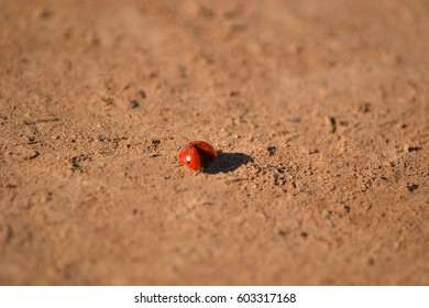 Coccinellidae most commonly known as ladybug