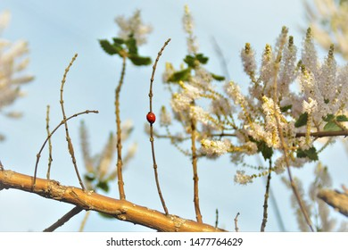 Coccinellidae on a branch of Commiphora myrrha in the field