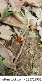 Coccinellidae on ground