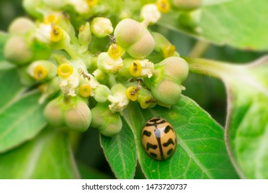 Coccinellidae. The turtle beetle (English: ladybird beetles, ladybugs) or popularly known as the ladybug is a scarab Ranked in the coliseira (Coleoptera) in the Coccinellidae family
