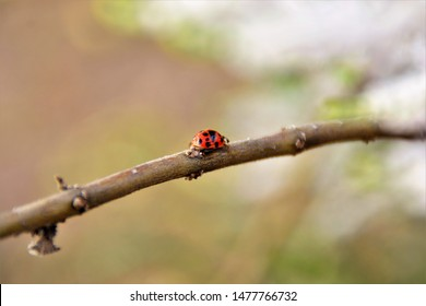 Coccinellidae walking on the branch of Commiphora myrrha in the field