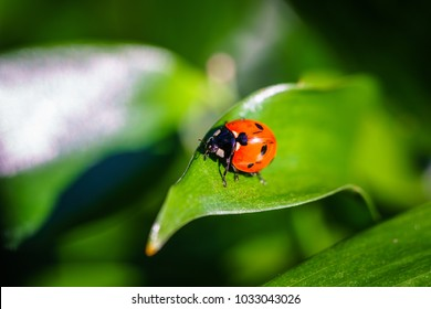 Coccinellidae is a widespread family of small beetles. They are commonly yellow, orange, or red with small black spots on their wing covers, with black legs, heads and antennae.