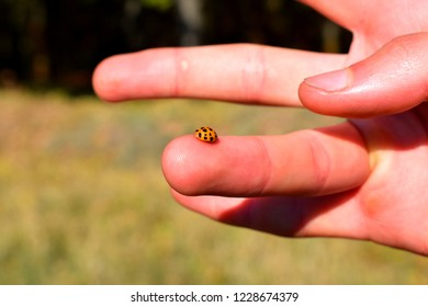 Coccinellidae is a widespread family of small beetles ranging in size from 0.8 to 18 mm