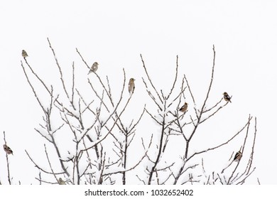 Coccothraustes coccothraustes -  Hawfinch flock of birds sitting on branches of a tree.