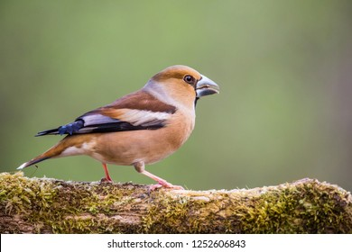 Coccothraustes coccothraustes, Hawfinch, sitting on a branch moss-grown. Wildlife.