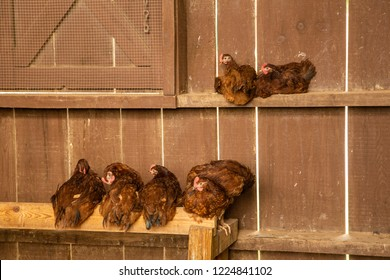 Cochin Chickens roosting in a barn near Asheville, North Carolina