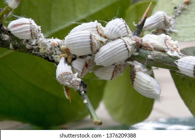 Cochineal cottony in the lemon trees in Madrid, Spain