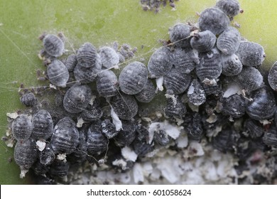 Cochineal, Dactylopius coccus