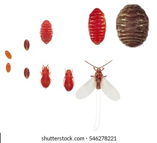 Cochineal (Dactylopius coccus) is a scale insect, from which the natural dye carmine is derived. Stages development isolated on a white background