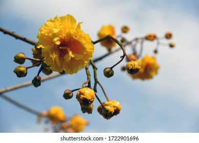 Cochlospermum regium (yellow cotton tree)