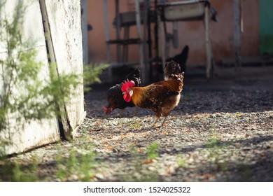 Cock in a farmyard, walking around seeking food.
