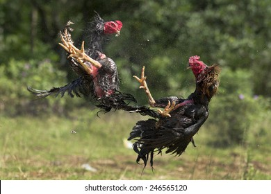 cock fighting 10