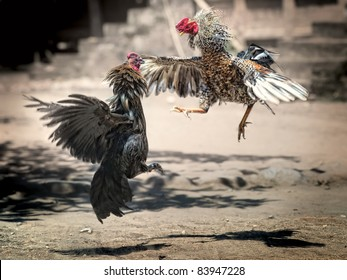 Cock Fighting in Bali, Indonesia
