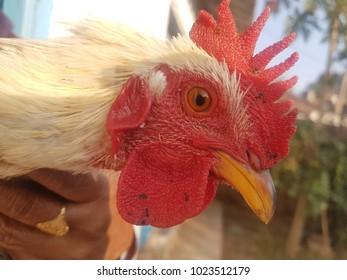 cock head close-up