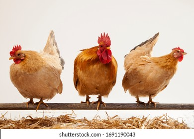 cock hens animal & fresh eggs