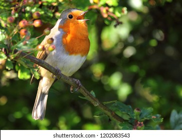 cock robin redbreast singing with beak open in berry tree