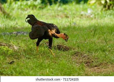 cock walking on grass