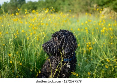 Cockapoo Black male Dog sitting amongst the spring flowering buttercups in a wildflower meadow.