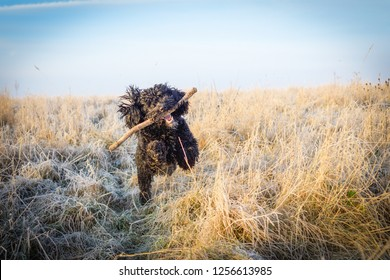 Cockapoo Black male dog with stick on frosty morning in Winter.