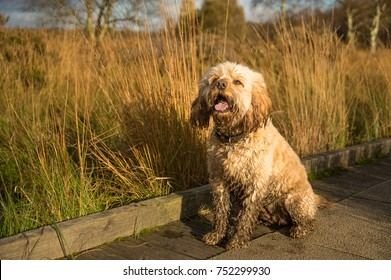 Cockapoo day out