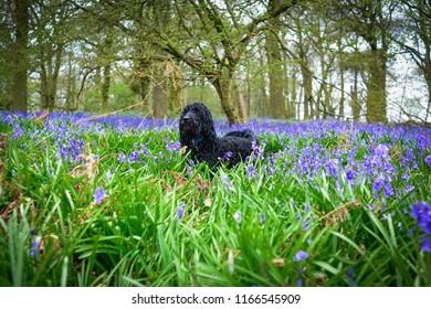 Cockapoo Dog amongst English Bluebells.