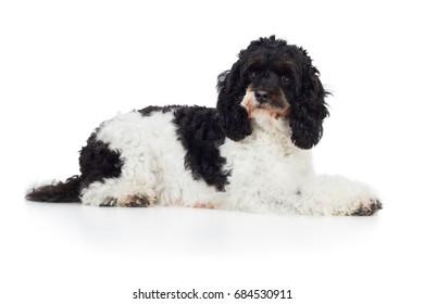Cockapoo dog breed dog is lying sideways