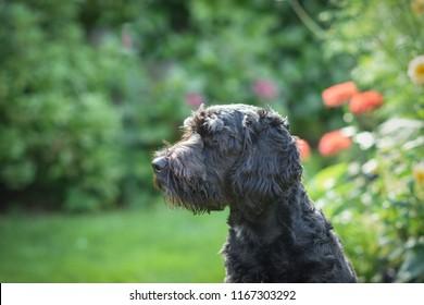 Cockapoo Dog in garden.