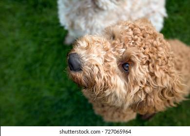 Cockapoo dog in garden