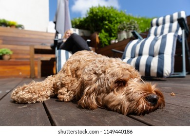 Cockapoo dog lying in the sun on garden decking with deck chair in the background